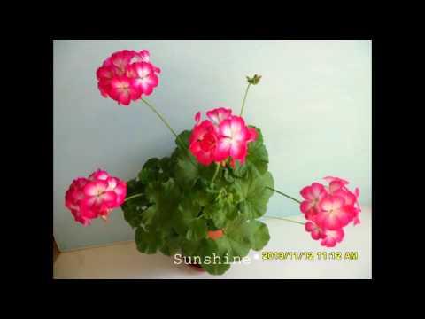 Pelargonium Ringo 2000 Rose Star   링고 2000 로즈스타 펠라고늄
