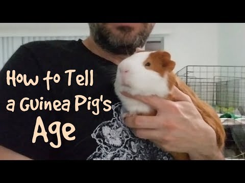 How To Tell A Guinea Pig's Age