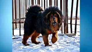 Top 5 | Biggest DOGS in the World