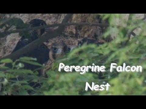 ハヤブサ 巣立ち前日の巣の様子 Peregrine Falcon The Day Before Leaving The Nest B地点 5月下旬 野鳥FHD 空屋根FILMS#1033