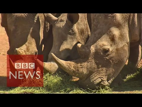 Extinction warning for Africa's rhinos - BBC News