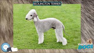 Bedlington Terrier  Everything Dogs