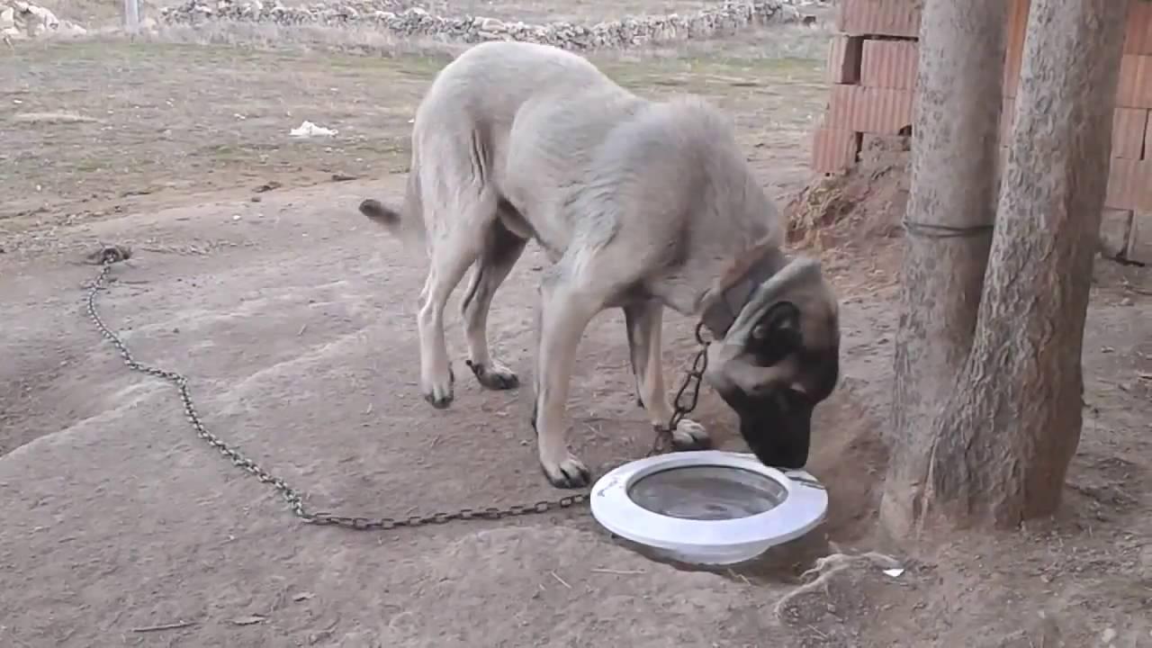 Turkish Kangal Dog (1)