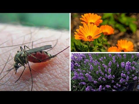 Diese Pflanzen halten Mücken und andere nervige Insekten fern