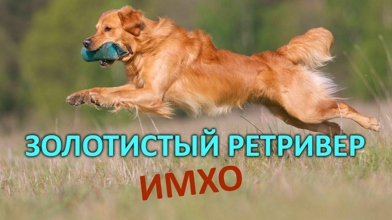 Золотистый ретривер - ИМХО