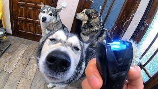Электрошокер для хаски / УДАРИЛ шокером парня / реакция собаки
