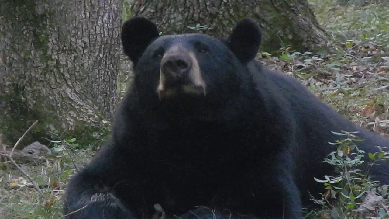 PA Black bear laying in our yard - YouTube