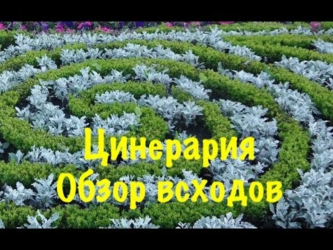 Цинерария Серебристая,Выращиваем из семян легко и просто без проблем  2 обзор всходов.