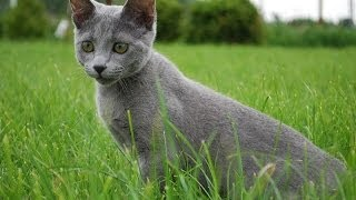 Animal Planet  : Cats 101 ~ Russian Blue