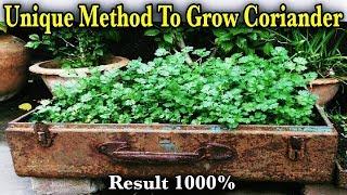 How To Grow Coriander Like Farmers In Pots  || How To Grow Coriander / Dhaniya / Cilantro From Seeds