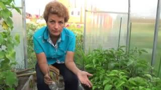видео Белокрылка в теплице: как избавиться?