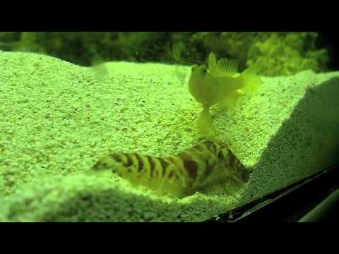 tiger watchmen goby and pistol shrimp relationship