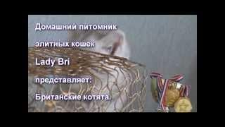 Серебристые британские котята табби (вискас)  www.ladybri.ru