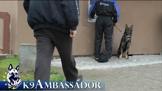 Fully Trained Elite Protection Dog - Butler Z Erisedu / K9 Ambassador