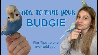 How to Tame a Budgie/Parakeet | Tips and Tricks no one ever told you!