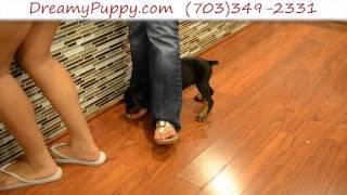 Stunning Doberman Pinscher Male Puppy 2