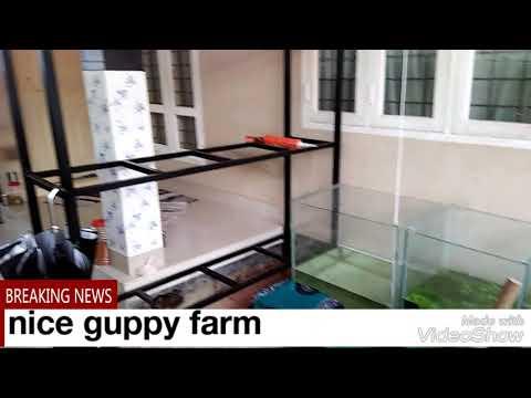 Nice guppy farm