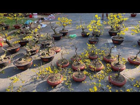 Nhà vườn thà cắt bỏ những gốc mai cả chục triệu chứ không chấp nhận xuống giá chiều 30 Tết