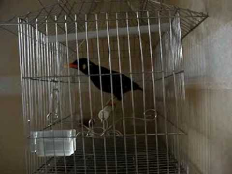 Chim Nhong Noi.3gp