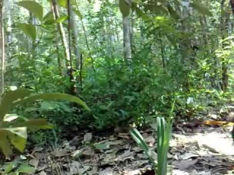 Suara ayam hutan betina