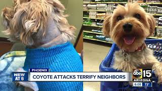 Several Valley dogs have been attacked by coyotes right in their backyards recently