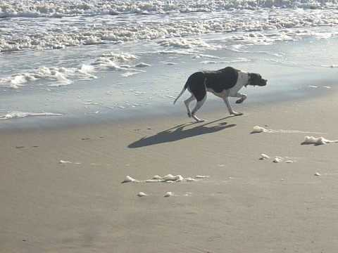 Roxy the English Pointer chasing the sea birds.MOV
