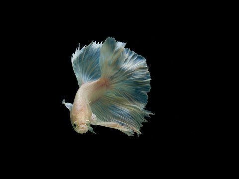 Basic Editing Bettafish Photography (cupang Photography)