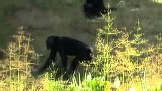 Семейная сцена из жизни обезьян