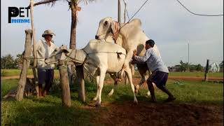 Wow! Amazing Man Use Traditional Style To Produce The Baby Cow In My Country #010