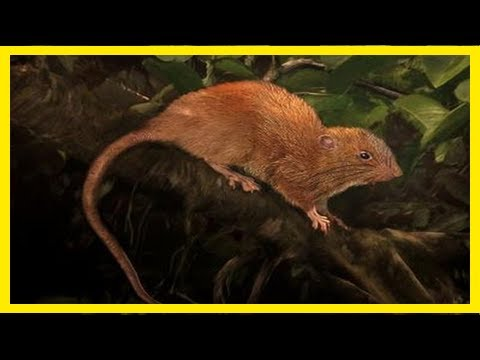 Breaking News | New species of giant rat discovered in solomon islands