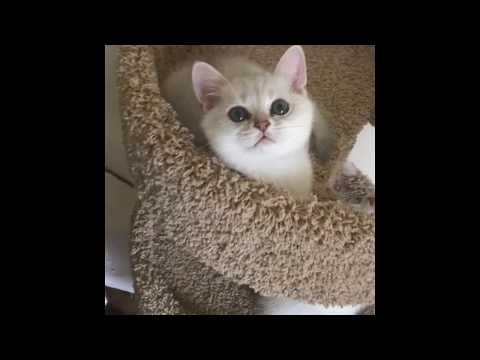 LUXURY Kittens British Shorthair | Natalie Ikonn