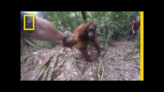 Clingy Orangutan Gets Too Close For Comfort | National Geographic