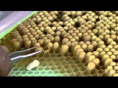 Drone Frame full of Varroa mites