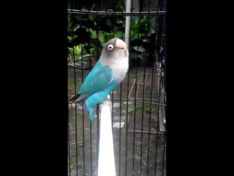 Lovebird ngekek panjang banget