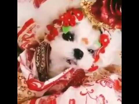 8 Year-Old Child Bride Dog Version