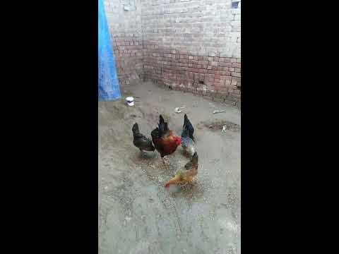 Full Download] Village Life Desi Hen Farming In Pakistan