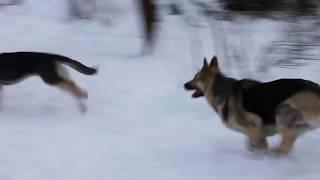 Щенки восточноевропейской овчарки 6 месяцев и взрослые собаки/ East-european Shepherd puppies