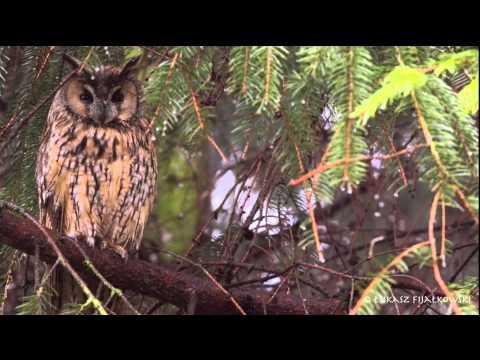 Uszatka (Asio Otus) / Long Eared Owl