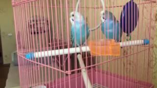 СРОЧНО!!!! Пение попугаев