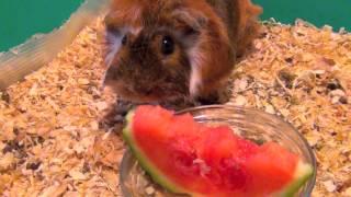 Морская свинка ест арбуз. забавное видео