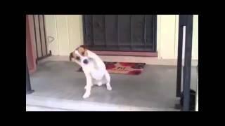 пес барбос, говорящие животные, редкие случаи, хаски,!!!!