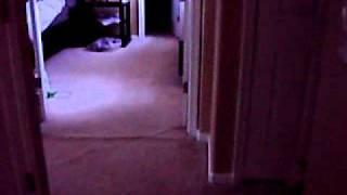 Bull Terrier Hucklebutt