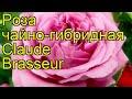 Роза чайно-гибридная Клод Брассер. Краткий обзор, описание характеристик Claude Brasseur
