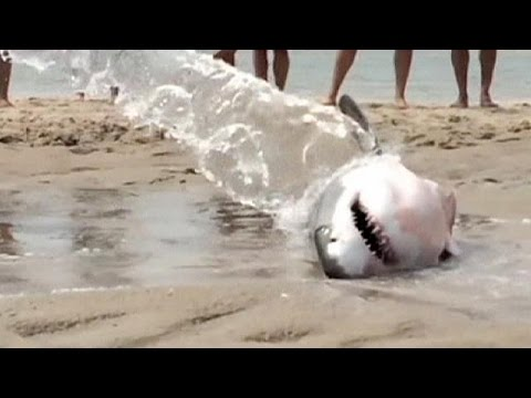 Beachgoers save stranded great white shark - no comment