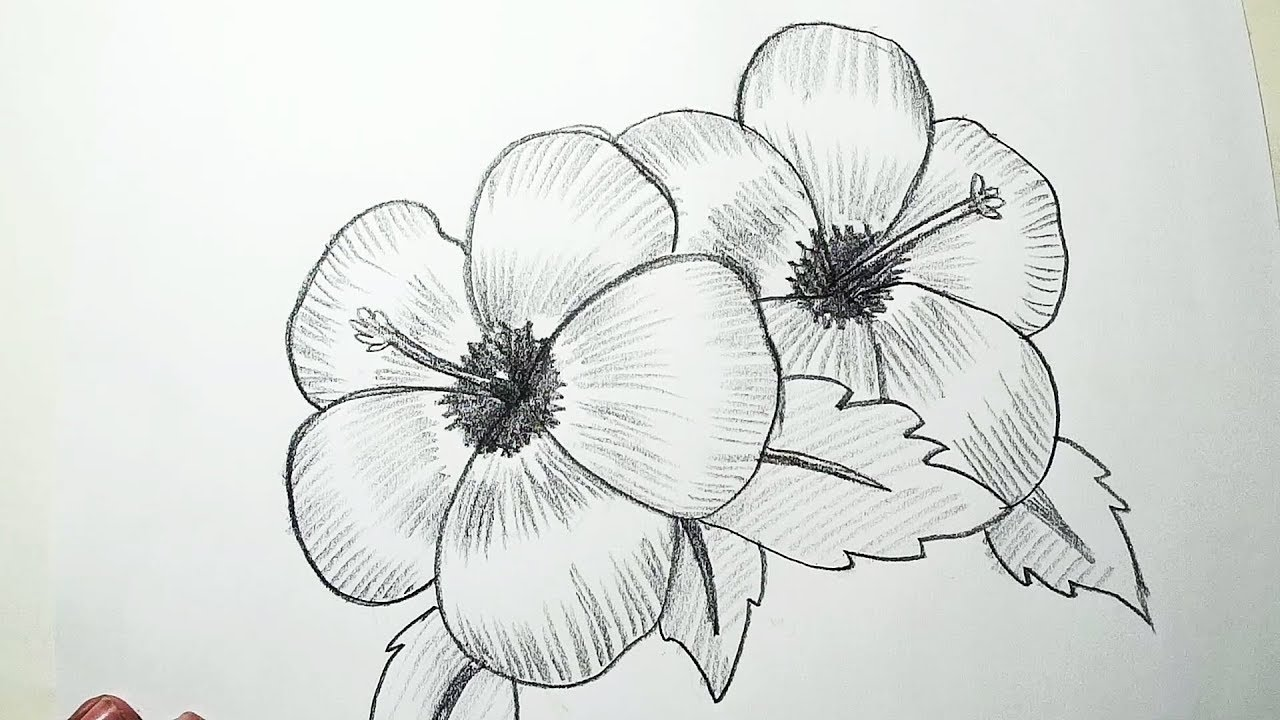 How to draw hibiscus flowers pencil drawing shading for beginners
