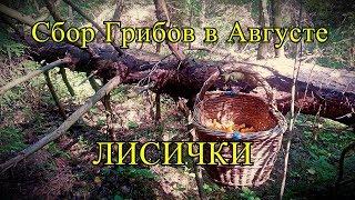 Летняя Тихая Охота | ЛИСИЧКИ |  Сбор Грибов в августе | Hunting Chanterelle Mushrooms