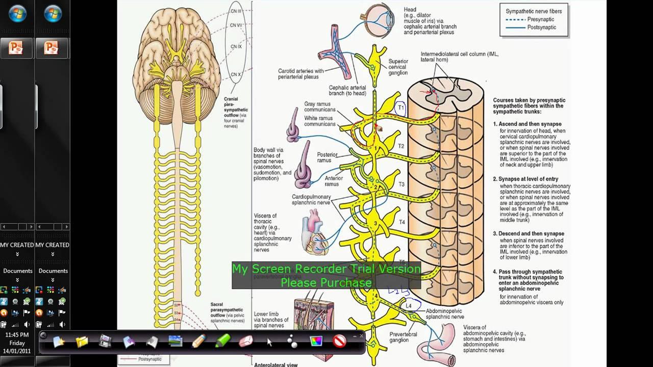 autonomic nervous system sympathetic system trunks intro