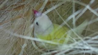 Самка на гнезде, птенцу амадины гульда 6 дней