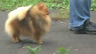 Pomeranian Training.