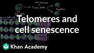telomeres-and-cell-senescence-cells-mcat-khan-academy